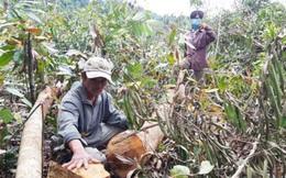 Thanh tra Chính phủ vào cuộc vụ phá rừng ở Phú Yên