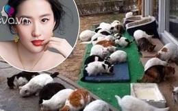 Lưu Diệc Phi nuôi tới 50-60 con mèo hoang, mèo lạc trong nhà