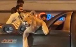 'Đại gia' chơi ngông, chở sư tử dạo phố khiến dân náo loạn