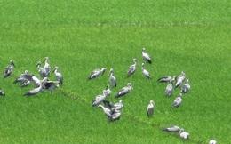 Hàng ngàn con cò ốc xuất hiện trên đồng lúa xã Phú Cường