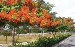 Đại gia Đặng Văn Thành trồng... phượng để hút du khách