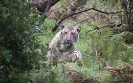 Đây là con hổ trắng đặc biệt nhất hành tinh, vì cả thế giới chỉ có mình nó mà thôi