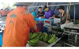 Hoàng Anh Gia Lai bắt đầu thu hoạch chuối, chuẩn bị phân phối qua hệ thống Bách Hóa Xanh