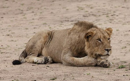 Bé gái 10 tuổi bị sư tử vồ chết trước mặt dì ruột ở Zimbabwe