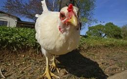 Vì sao nông dân Venezuela bán gà cũng không đủ tiền mua 1kg thức ăn?