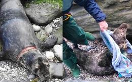 Giải cứu chú hải cẩu mắc cạn, bị lưới đánh cá cứa gần đứt cổ