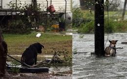 Hình ảnh những chú chó bơ vơ, ngập giữa dòng nước lớn trong trận bão mạnh nhất thập kỷ ở Mỹ khiến nhiều người động lòng