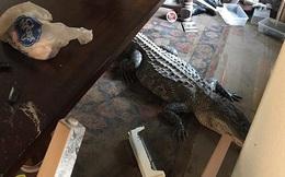 Quay về sau bão, chủ hộ bắt gặp ngay cá sấu dài 3m đang tắm nắng giữa nhà