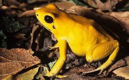 Con ếch độc bậc nhất thế giới và bí ẩn đằng sau nó cuối cùng đã được khoa học giải đáp