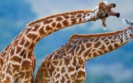 Đố bạn: Tại sao cổ của hươu cao cổ lại dài? Lý do không giống như bạn nghĩ đâu!