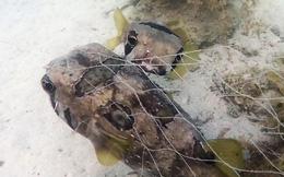 Thấy bạn bị mắc lưới, cá nóc tình nghĩa nhất quyết ở bên không chịu đi