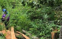 Gia Lai: Tổ trưởng tổ quản lý bảo vệ rừng... cũng đi phá rừng