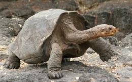 Bị vợ hỏi khó: Một chú rùa bỏ cả đời đi vòng quanh Trái Đất được không?