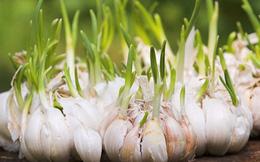 Hành, tỏi mọc mầm có độc?