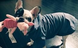 Chú Bull Pháp của Choi Siwon nuôi là giống chó như thế nào?