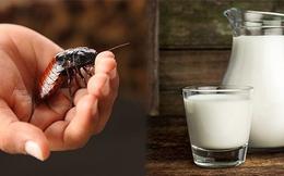 Sữa gián ngon và bổ gấp 3 lần sữa bò, nhưng bạn có dám uống hay không?
