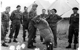 """""""Gấu chiến binh"""" - thành viên đặc biệt của quân đội Ba Lan trong Thế chiến II"""