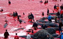 Cả vùng nước chuyển đỏ vì màu: Thảm cảnh hàng ngàn chú cá voi hoa tiêu bị giết hại, xả thịt dã man bên bờ biển