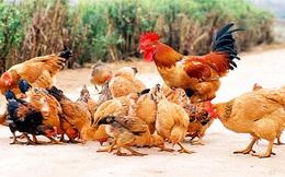 """""""Hai vợ chồng ở Hà Lan nuôi 230.000 con gà nhưng ở ta thì phải 30 người"""""""