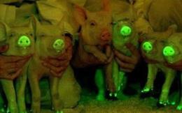 """Lợn phát sáng lập lòe trong bóng đêm - có phải là thí nghiệm """"điên rồ""""?"""