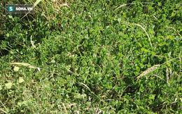 Nếu cứ vô tư giẫm lên đám cỏ này, bạn có thể phải trả giá bằng cả tính mạng!