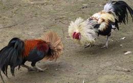 Đi xem đá gà, gà chết, người cũng chết