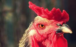 Trung Quốc phát triển công nghệ nhận dạng khuôn mặt cho gà