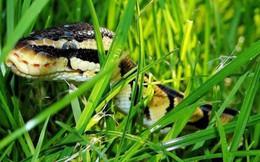 Sự tồn tại của loài rắn trên Trái đất đang bị đe dọa