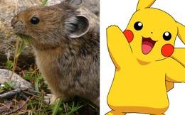 Sinh vật dễ thương giống Pikachu đang dần biến mất vì lý do không ai ngờ tới