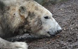 """Chất thải độc hại ở Bắc Cực có thể gây ra hội chứng """"lưỡng tính"""" ở gấu Bắc Cực"""