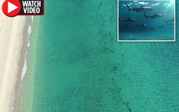 """Clip: 10.000 con cá mập """"bao vây"""" du khách, đen đặc bờ biển"""