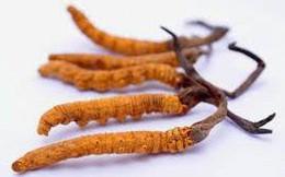 Việt Nam đã thành công về đông trùng hạ thảo