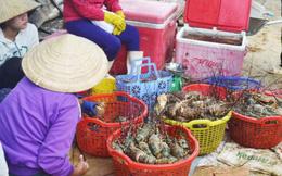 Thảm cảnh chưa từng thấy tại các lồng bè nuôi tôm hùm ở Phú Yên