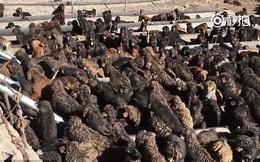 Hàng trăm 'thần khuyển' ngao Tây Tạng bị bỏ rơi ở Trung Quốc