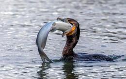 Không tự lượng sức, chim cốc suýt chết nghẹn vì cố nuốt con mồi