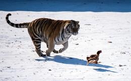 24h qua ảnh: Hổ Siberia truy đuổi gà để rèn luyện kỹ năng săn mồi