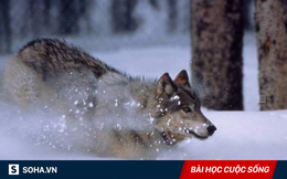 Bắt gặp con sói mẹ bị mắc bẫy, ra tay làm một việc, người đàn ông được hưởng lợi cả đời