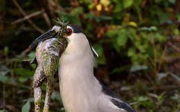 Đi săn trúng đậm nhưng chim diệc lại vật vã khổ sở vì con mồi to lớn mắc ngay ở cổ