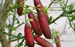 Chanh ngón tay có hương vị lạ giá 3,5 triệu đồng/kg