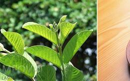 Loại lá dân dã công dụng không kém trà xanh: Việt Nam có nhiều nhưng còn bị bỏ phí