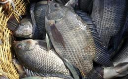 Đã tìm thấy một cách nấu để loại bỏ chất độc trong cá: Ai hay ăn cá rô phi nên tham khảo