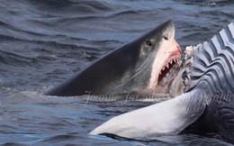 Cá mập trắng cắn xé xác cá voi khổng lồ ngay trước mũi tàu