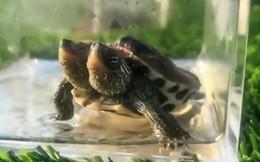 Rùa 2 đầu đột biến vẫn sống khỏe bất chấp dị tật