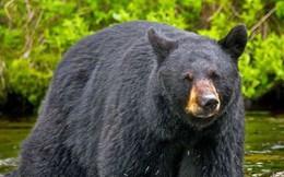 Vừa bắn bị thương một con gấu, người thợ săn lập tức gặp họa