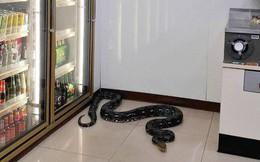 Trăn dài 1,2 mét chui vào cửa hàng tiện lợi ngủ