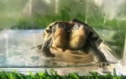 Video gây sốc về rùa 2 đầu đột biến gen cực hiếm
