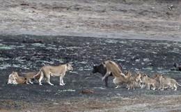 Cuộc chiến không cân sức giữa trâu rừng với 10 con sư tử