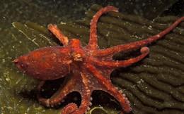 Thiên tài của đại dương? Hãy gọi tên bạch tuộc nhé