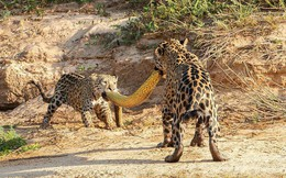 24h qua ảnh: Cận cảnh mẹ con báo đốm Mỹ cắn xé trăn khổng lồ