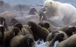 Clip: Cái kết 'thê thảm' dành cho gấu Bắc Cực phàm ăn